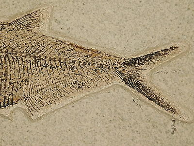 PERFECT BONES! on This 100% Natural Diplomystus Fish Fossil Wyoming 2528gr