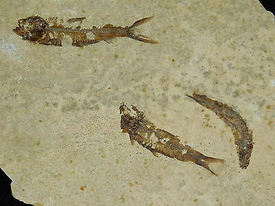 A School of THREE! Small 100% Natural 50 Million Year Old Fish Fossils 191gr