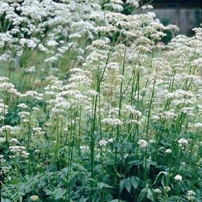 Valerian - Valeriana officinalis - 400 Seeds