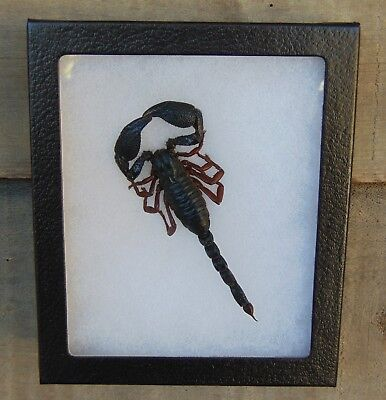 E574) Real BLACK SCORPION taxidermy mount 5X6 framed USA combined ship!