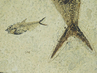A Big! 50 Million Year Old Diplomystus Fish Fossil With A Baby Neat! 1665gr e