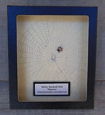 E578) Real Spiny-backed Orb Weaver Spider on actual web framed shadowbox in USA