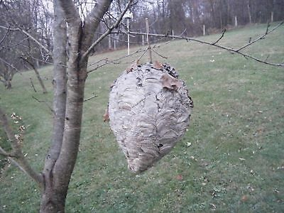 Bald Face White Hornet Nest Bee Hive For Science Civil War Old Musket Man Cave