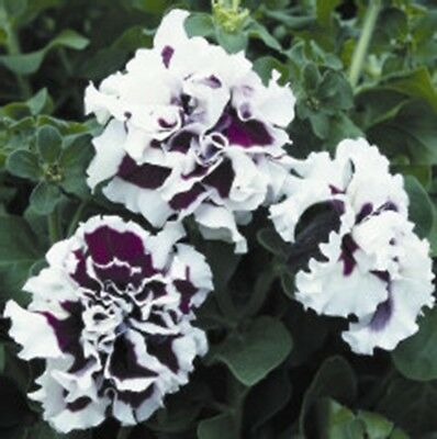 DOUBLE Purple PIROUETTE ~ PETUNIA ~ 25 Pelleted SEEDS