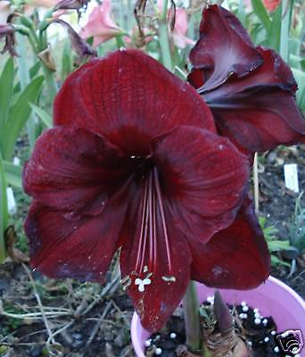 """BLACK KNIGHT"" Amaryllis/Hippeastrum - Blackest Red 12 Mth Old Seedling X1"