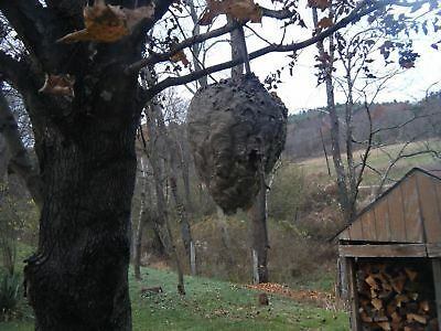 Big Bald Faced Hornets Nest on Branch for Taxidermy, Man Cave, School Science