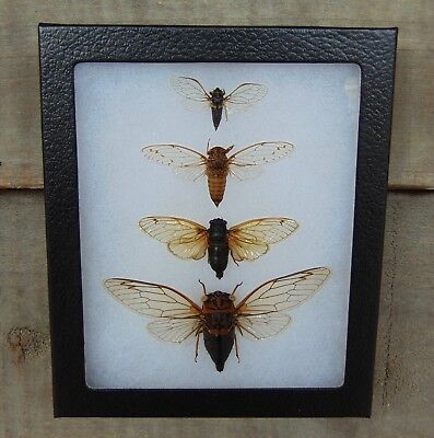 E581) Real USA CICADA Collection 5X6 Riker Display framed insect taxidermy bug