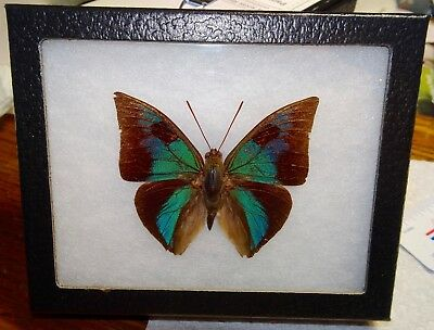 Framed Rare Anaeomorpha splendida Peru Butterfly Display Insect