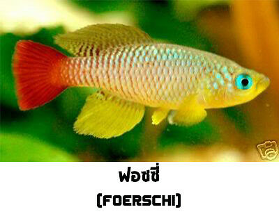The Tropical Fish Killifish Nothobranchius Foerschi 30 Eggs Easy Hatch