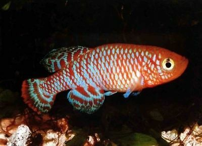 The Tropical Fish Killifish Nothobranchius Rachovii Beira 98 50 Eggs Easy Hatch