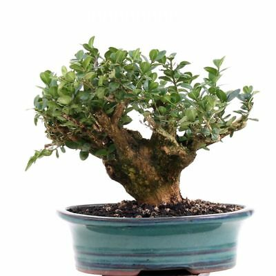 bonsai buxus sempervirens buchsbaum shohin 177 125. Black Bedroom Furniture Sets. Home Design Ideas