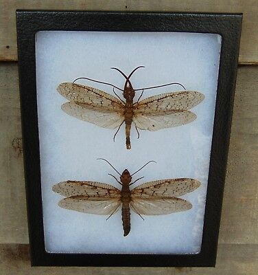 E743) Real DOBSONFLY Pair 6X8 framed display butterfly insect taxidermy dobson