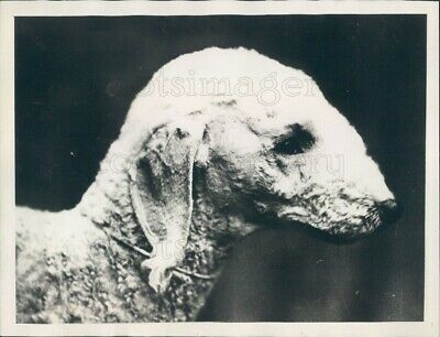 1929 Press Photo Cute Bedlington Terrier Dog Chutney Revival 1920s