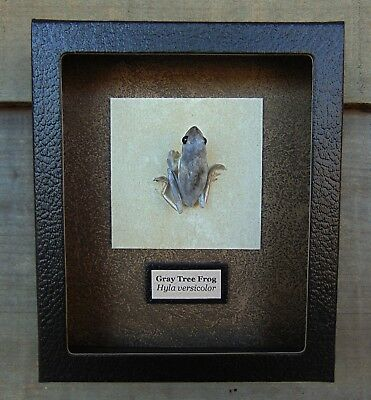 H15) Real Taxidermy GRAY TREE FROG 5 X 6 framed shadowbox display mount Hyla USA