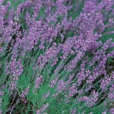 New Pack Traditional Lavender 'Vera' Perennial Flower Seeds Suffolk Herbs