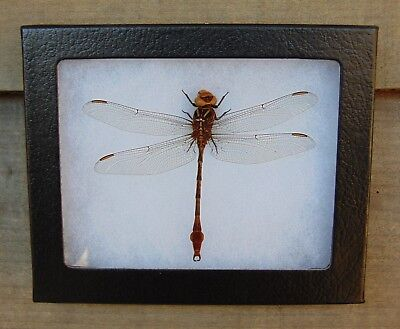 E399) Real Two-Striped Forceptail Dragonfly 4X5 framed display butterfly insect