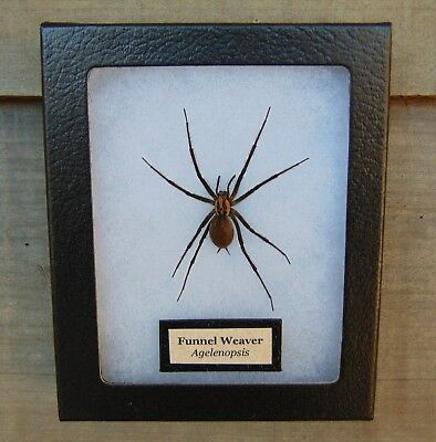 E398) Real FUNNEL WEB SPIDER Agelenopsis 4X5 NICE Framed Taxidermy Display USA