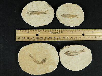 Lot of FOUR! Small 100% Natural Fossil Fish 50 Million Years Old Wyoming 211gr