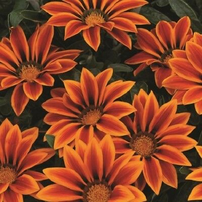 Gazania - Kiss Orange Flame - 15 Seeds