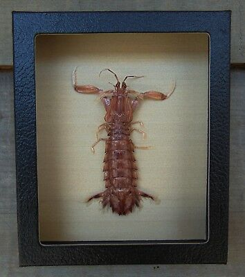 T3) Real MANTIS SHRIMP Squilla framed 5X6 mount Taxidermy Display shellfish crab