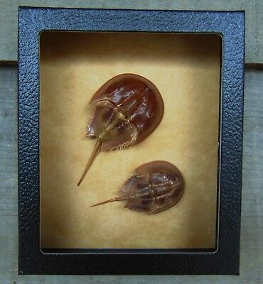 L1) Real Taxidermy HORSESHOE CRAB Limulus 5 X 6 framed shadowbox shellfish in US