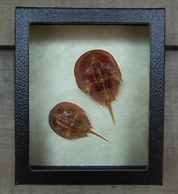 L2) Real Taxidermy HORSESHOE CRAB Limulus 5 X 6 framed shadowbox shellfish in US