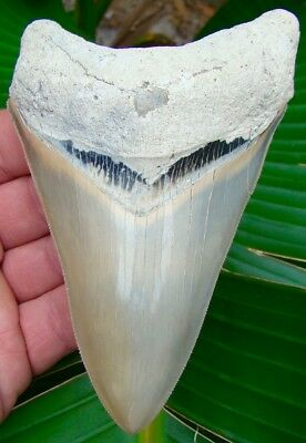 MUSEUM GRADE 5 & 3/16 in.  Lee Creek Aurora Megalodon Shark Tooth - ALL NATURAL