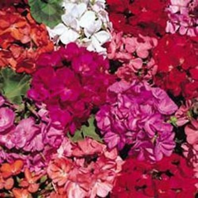 Geranium - Country Garden - 30 Seeds