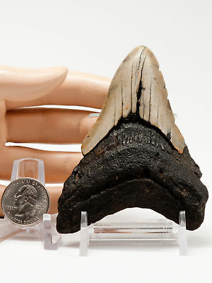 "Megalodon Fossil Shark Tooth 3.947"" Excellent Teaching Tool Biting Meg Teeth"