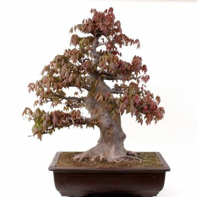 Bonsai Large Thicker Acer Buergerianum Tricorn Maple From Japan