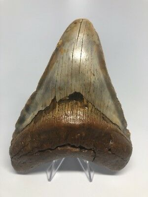 """Colorful 5.73"""" Megalodon Fossil Shark Tooth Teeth Rare Big Amazing 1427"""