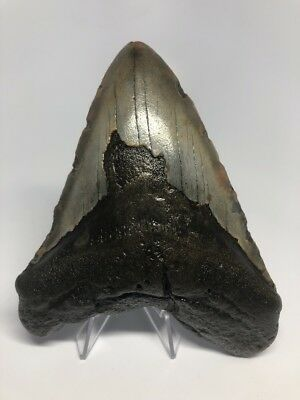 """Wide 5.37"""" Megalodon Fossil Shark Tooth Teeth Rare Big 1428"""