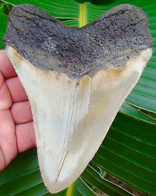 Megalodon Shark Tooth - OVER 5 & 3/8 in. SERRATED  REAL Fossil Sharks Teeth