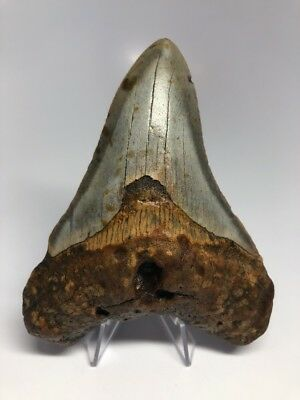 """Orange And Blue 4.65"""" Megalodon Fossil Shark Tooth Teeth Rare Amazing 1445"""