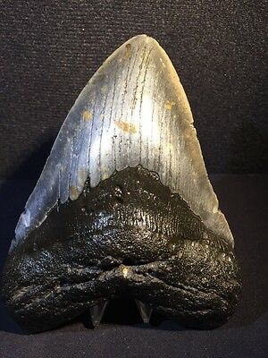 "Huge 5.8"" Megalodon Shark Tooth Fossil Teeth Sharks  Almost 6 Inches"