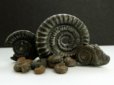 Genuine iron pyrite Jurassic ammonites  - UK find