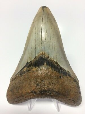"""Amazing Lower 4.96"""" Megalodon Fossil Shark Tooth Teeth Rare Big W986"""