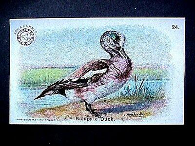 Baldpate Duck Collectible Trade Card Cow Brand & Arm & Hammer Advertising 1904