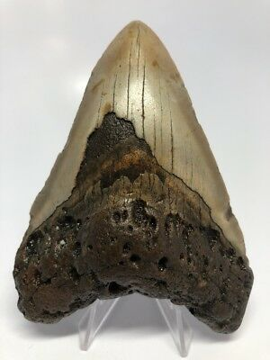 """Amazing Brown 4.70"""" Megalodon Fossil Shark Tooth Teeth Rare Natural 1287"""