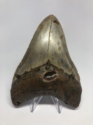 """Unique 5.00"""" Megalodon Fossil Shark Tooth Teeth Rare Amazing 1394"""