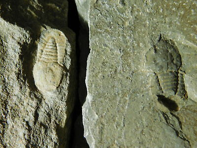 A Lot of FOUR! Small 100% Natural Symphysops sp. Trilobite Fossils 355gr *E