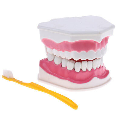 2 Times Human Mouth Dental Teeth Model with Toothbrush Medical Study Kit