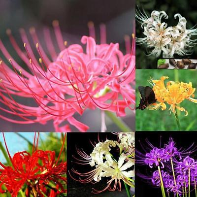 5[cs/Bag Lycoris Radiata Spider lily Bulb Seeds Home Garden Flower Seed Hot Sale