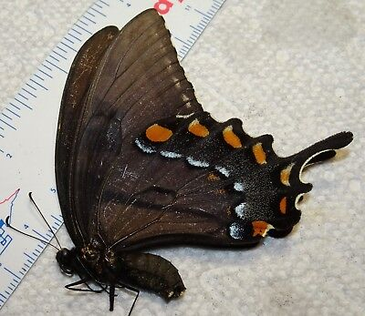 Papilio glaucus Black Form Female Tiger Swallowtail Butterfly Indiana #C20