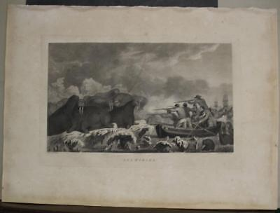 Walrus Hunting Arxtic Lands 1784 Cook/scott Unusual English Edition Antique View