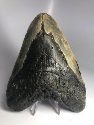 """Massive 6.11"""" Big Megalodon Fossil Shark Tooth Rare REAL 1775"""