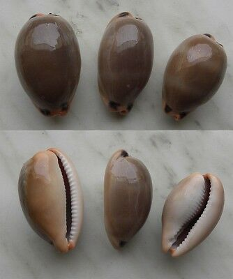 seashell  cypraea lurida set 3