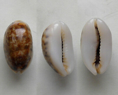 seashell  cypraea listeri melvilli R.& M. selected