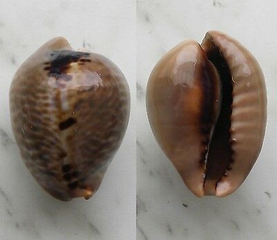 seashell  cypraea mus dark color selected