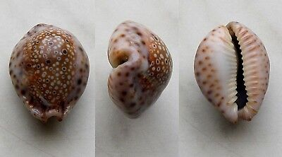 seashell  cypraea  ocellata fat